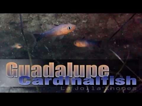 Guadalupe Cardinalfish -  La Jolla Shores