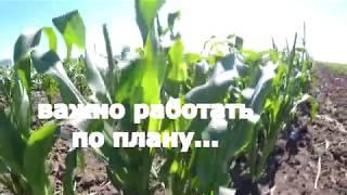 видео Удобрение кукурузы