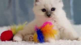Emmanuelle (питомник кошек marikota.com)