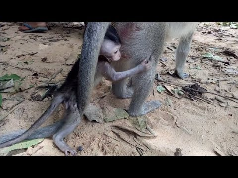 Thumbnail: Baby Monkey Angry Until Cry ST501 Mono Monkey