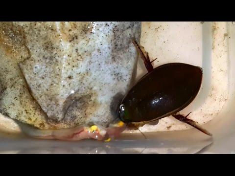 Жук-плавунец ест червя