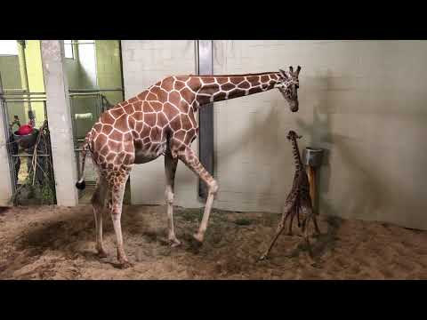 Laura - Adorable baby giraffe born at Cheyenne Mountain Zoo!