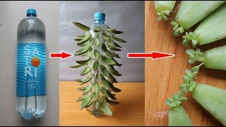 Growing stone lotus in plastic bottles is as easy as playing