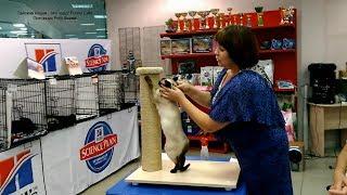 Калиостро занял 2-е место в Фан Шоу сиамо-ориентальных кошек 24 декабря 2017 года на выставке в Кеме
