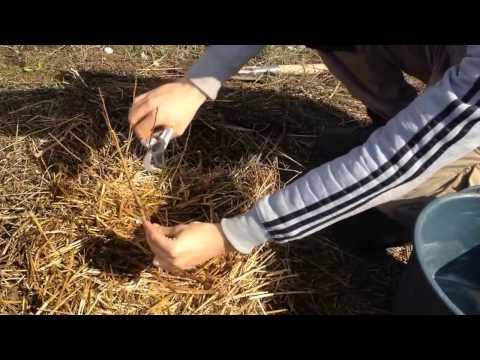 Как правильно пересадить персик