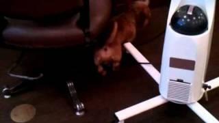 """美容室""""tete a tete HAIR""""の看板犬(モヒカン犬)でミニチュアダックス..."""