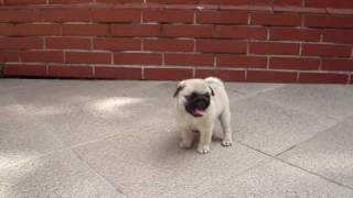 Little Girl Pug - Playing And Walking.