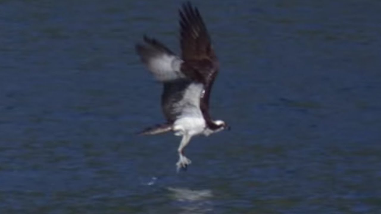 Osprey Hunts Fish in Slow Motion | Earth Unplugged