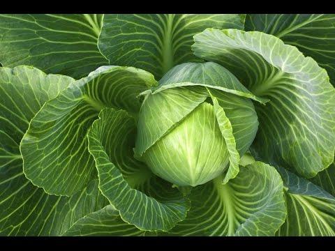 Как помогает капустный лист