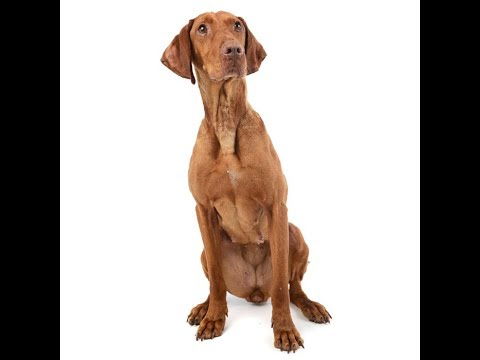 Hungarian Vizsla Dog Breed