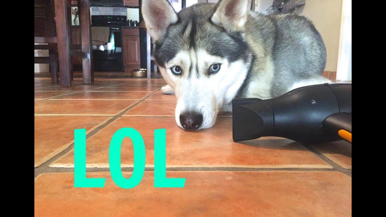 Husky Loves the Blow Dryer!