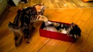курильский бобтейл котята играют в коробке