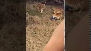 Người đàn ông bị đàn hổ ăn thịt tại sở thú chiết giang, trung quốc