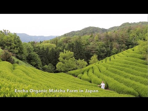 Encha Organic Matcha Farm in Japan