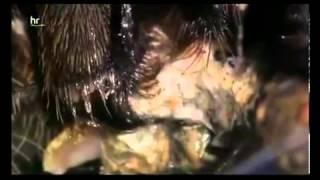 Australiens Königin der Spinnen die Tarantel