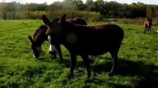 chevaux ardennais et ânes au parc