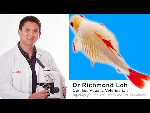 Dr Loh explains the causes of dropsy and does a full examination of a bloated Goldfish