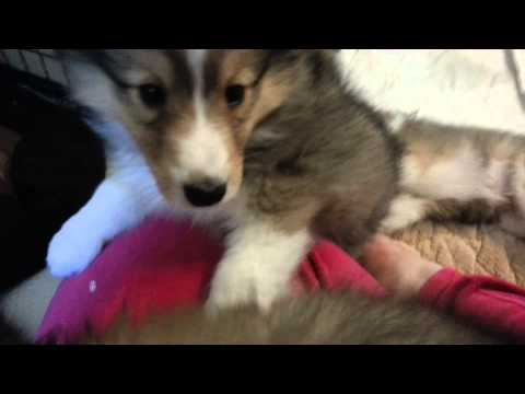 Attacked by Sheltie puppies! :-)