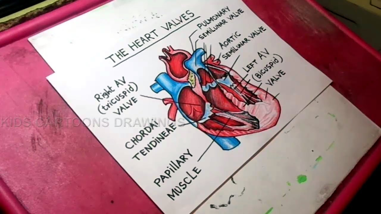 How To Draw Human Heart Valves Anatomy Drawing For Kids Youtube