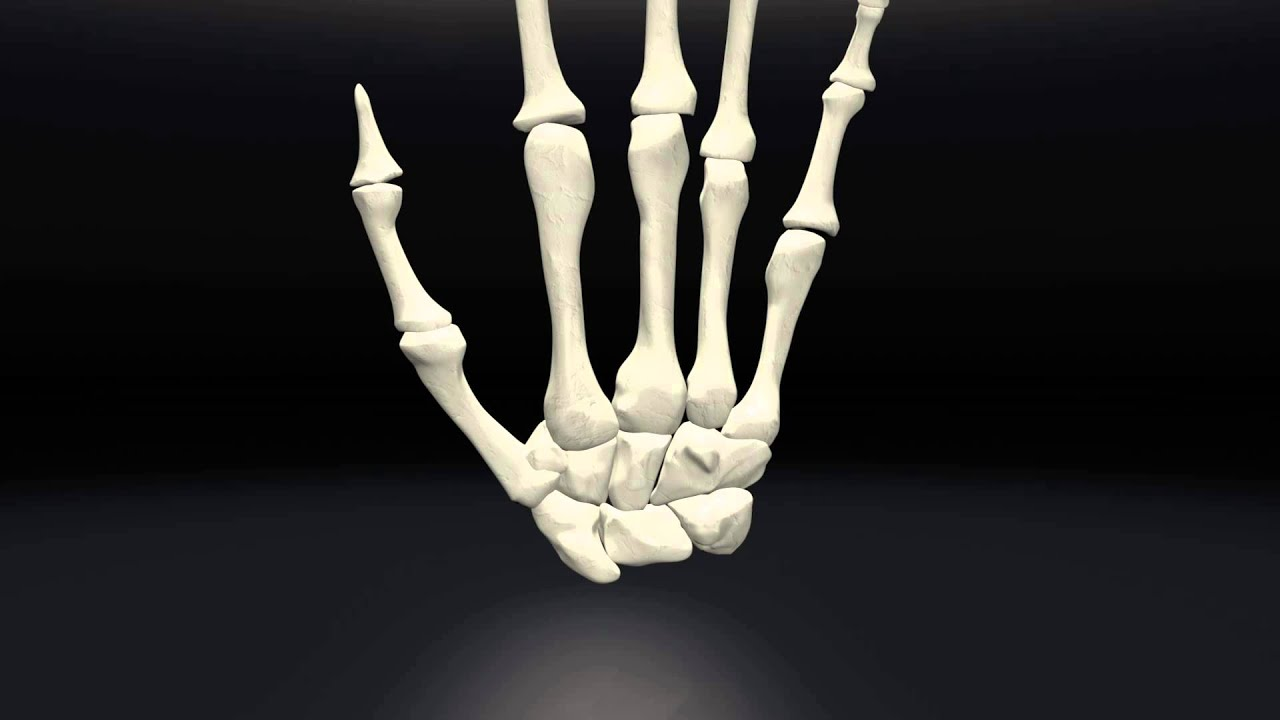 Human Skeletal Hand Structure Youtube