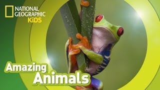 Red-eyed Tree Frog 🐸 | Amazing Animals