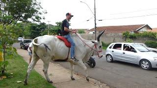 WALKING IN BULL through the city  || 走在公牛穿过城市 || MARCHER en taureau à travers la ville