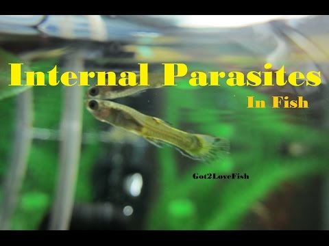 Internal Parasites In Fish