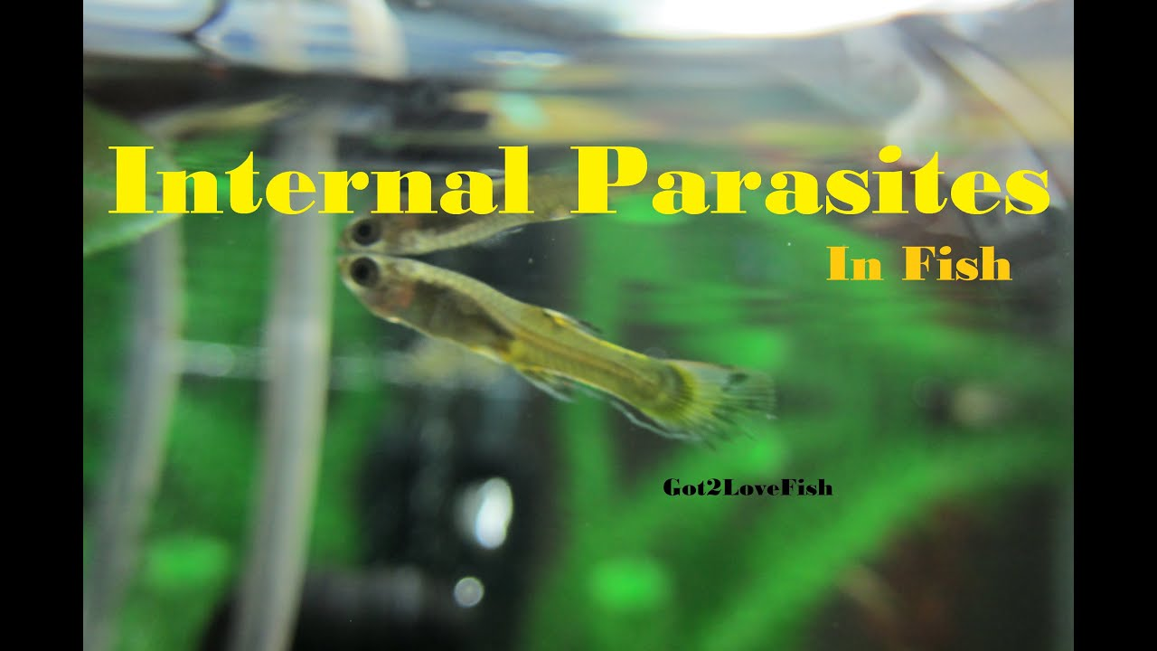 internal parasites in fish youtube