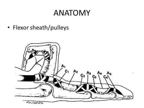 Biology And Anatomy Of Flexor Tendon Biomechanics Youtube