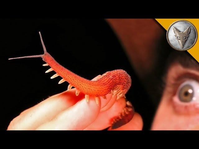 ULTRA RARE! - Velvet Worm