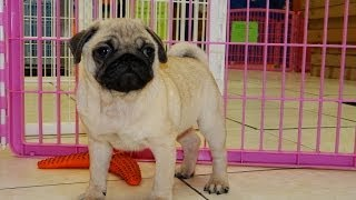 Pug, Puppies, For, Sale, In, Houston, Texas, Tx, Mcallen, Mckinney, Mesquite, Plano