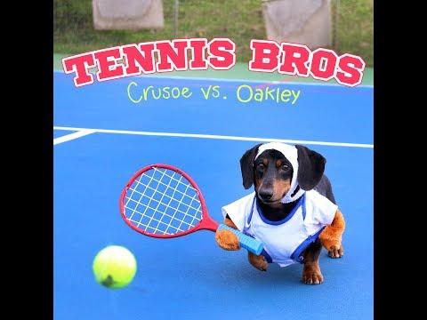 Adorable Dachshunds Play TENNIS!
