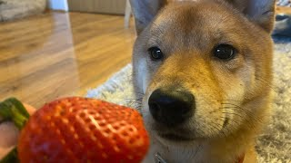 Shiba Inu Discovers Strawberries