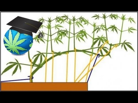 Training Cannabis Plant Branches - Bending Basics How To