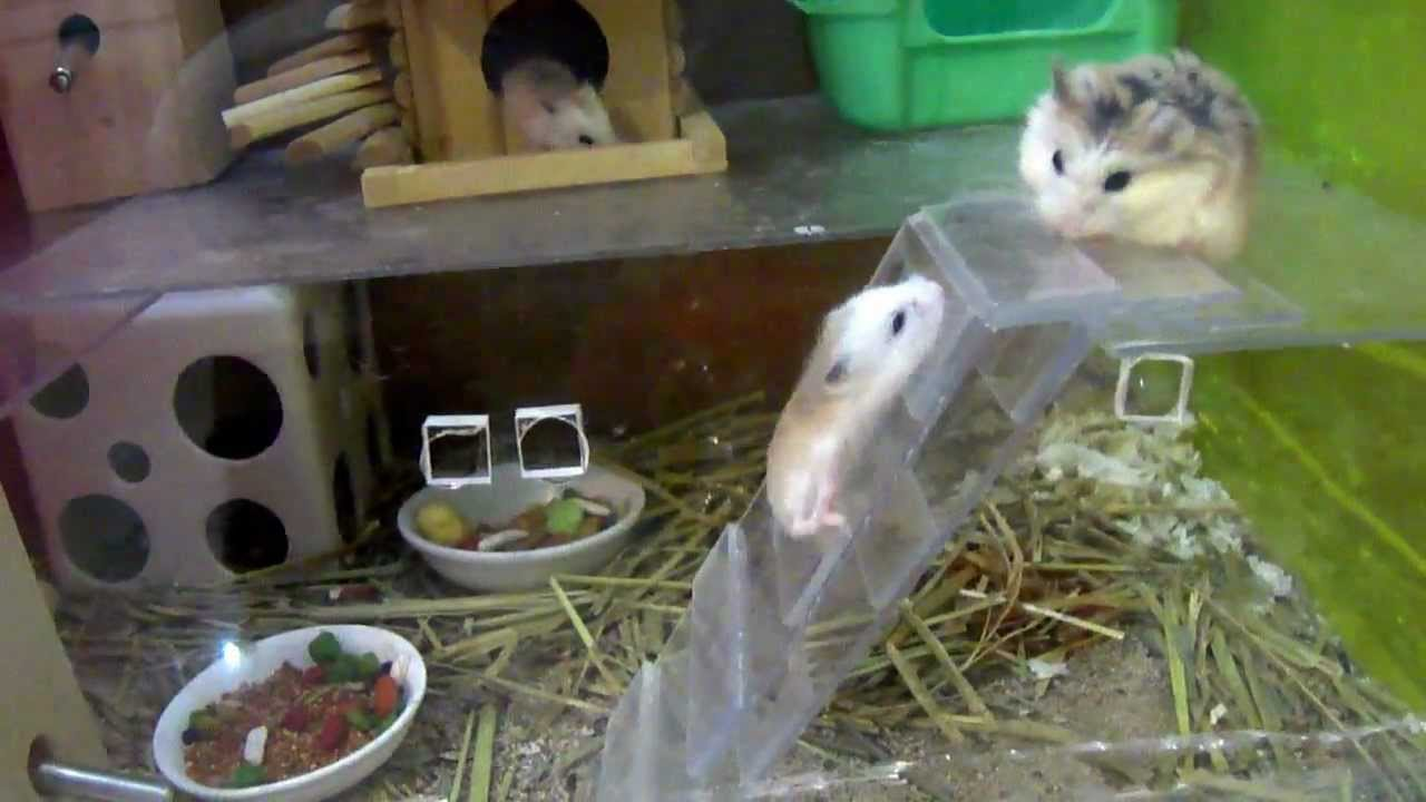 Robo Dwarf Hamster Care / Roborovski Facts