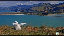 Royal Cam Albatross ~ Pippa Out Exploring On Walkabout! Working On Her Nest! 4.16.20