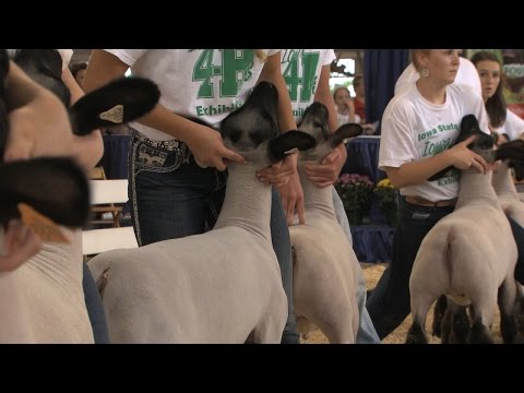 4-H Sheep Show | Iowa State Fair 2015
