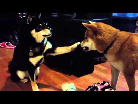 Shiba Inu pokes her sister's face