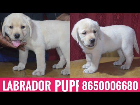 Kci Register Champion Line Labrador puppies for sale in 8650006680 Patna Bihar Ranchi Jharkhand