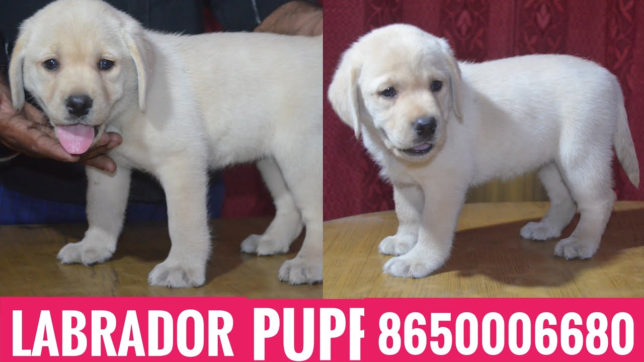 Kci Register Champion Line Labrador Puppies For Sale In 8650006680