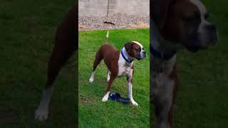 Boxer Dog Games