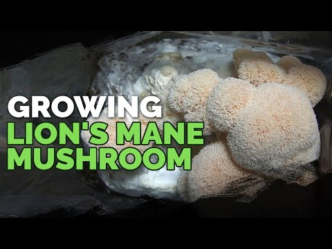How to Grow Lion's Mane Mushrooms (Recipe Included!)