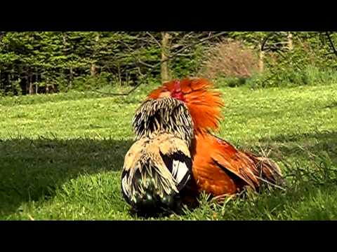 Roosters DO have occasional conflicts on range, but they are normally very brief.
