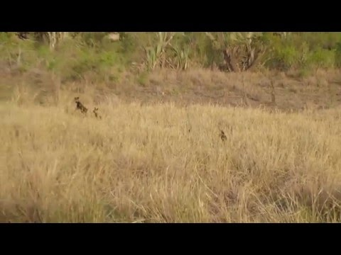 African wild dogs jumping
