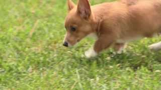 Tails The Corgi Puppy (3 Months Old)