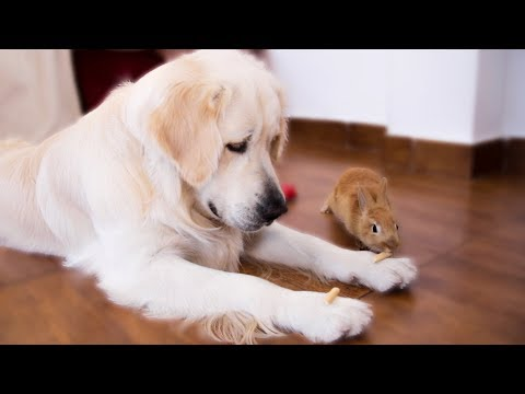 Pet Corner - Rabbit Sam Steals Food From Funny Dog Bailey