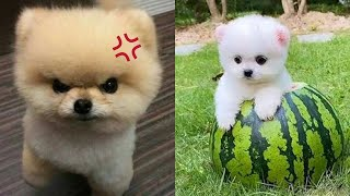 Funny and Cute Dog Pomeranian   Funny Puppy Videos #50