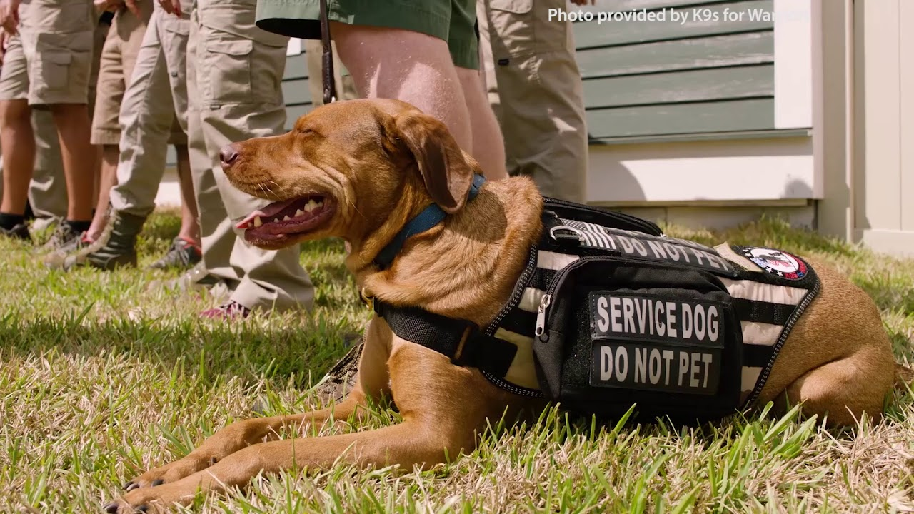 Service Dogs Can Lower Ptsd Symptoms Among War Veterans Youtube