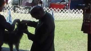 Rocky Jan. 14, 2013 Ocala Florida Gulf Coast Dog Show