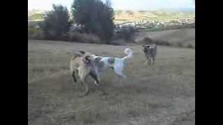 Karabey Babazula ve Torsan / different colors kangal dogs